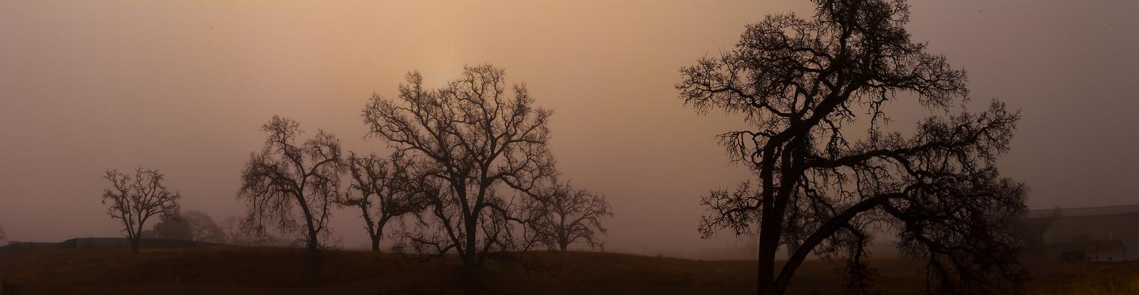 Trees in the morning fog