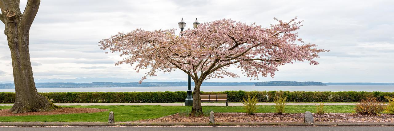 Grand Avenue Park Cherry Blossoms-Pano