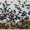 Redwinged Blackbirds in Van Zandt County