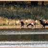 Elk at Woolaroc