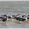 Gulls at Rockport, TX