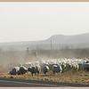 West Texas Sheep Drive