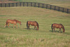 Thoroughbred retirement grounds, peaceful eating