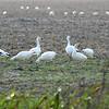 Geese at Texas Coast