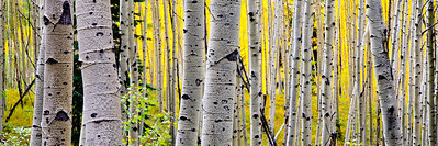 Aspens  Other sizes available: 4x12, 5x15, 8x24, 11x33. Please contact me for prices and method of payment.  Please visit: http://www.youtube.com/watch?v=6VzZzQ04EQY for my video journey.