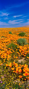 Sea of Poppies Lancaster, California 罌粟海 蘭開斯特,美國加州  Other sizes available: 4x12, 5x14, 7x20, 9x24, 10x26, 11x33, 12x36. Please contact me for prices and method of payment.