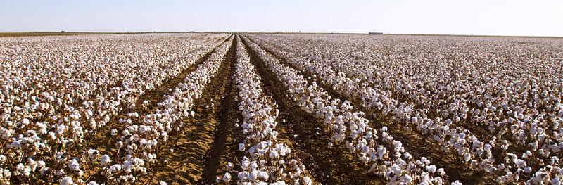 Texas Panhandle Cotton Field
