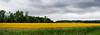 Mustard Field - Marshall, Indiana