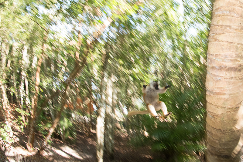 Lemur about to land