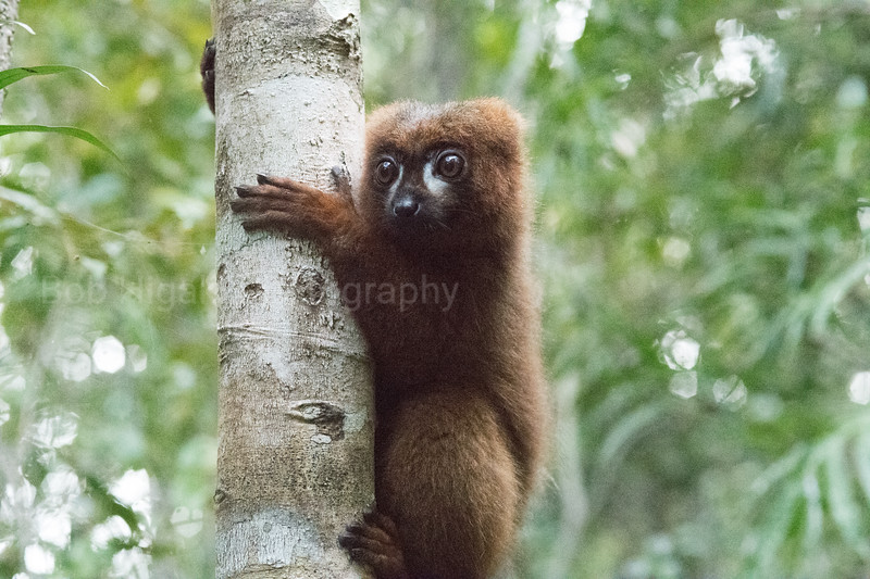 Red-bellied  lemur