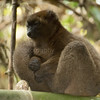 The Greater Bamboo lemur