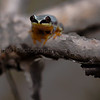Blue-back Reed frog