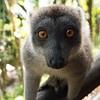 Hybrid lemur