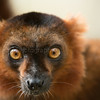 Brown lemur