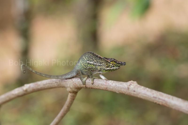 Nose horned Chameleon