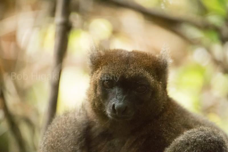 The Greater Bamboo lemur