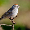 Chipping Sparrow, Paton Center for Hummingbirds