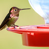 Anna's Hummingbird, Patagonia-Sonoita Creek Preserve
