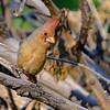 Northern Cardinal, Paton Center for Hummingbirds