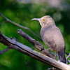 Curved-billed Thrasher, Paton Center for Hummingbirds