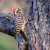 Ladder-backed Woodpecker, Paton Center for Hummingbirds