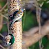 Lazuli Bunting, Paton Center for Hummingbirds