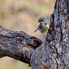 Yellow-rumped Warbler, Paton Center for Hummingbirds
