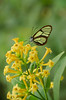 clear brn butterfly yellow flower ltr 3684 SRG