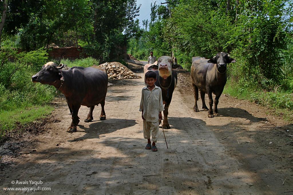 Master and his Buffaloes