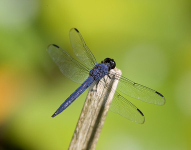In addition to all types of bees, dragon flies were everywhere.  Not quite as easy to photograph!