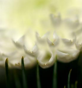 tortured petals