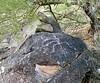 South Mountain petroglyphs: part man/part lizard.