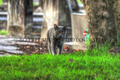 Grey Cat Red Eyes