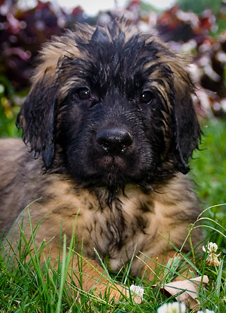 Von Alpensee Leonberger puppy, on a hot day, after playing with a water hose.
