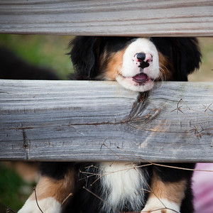Curious Bernese Mountain Dog puppy.