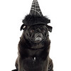 Black Pug wearing a witch hat for Halloween.