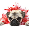 Piglet the Pug dressed for Valentine's Day.