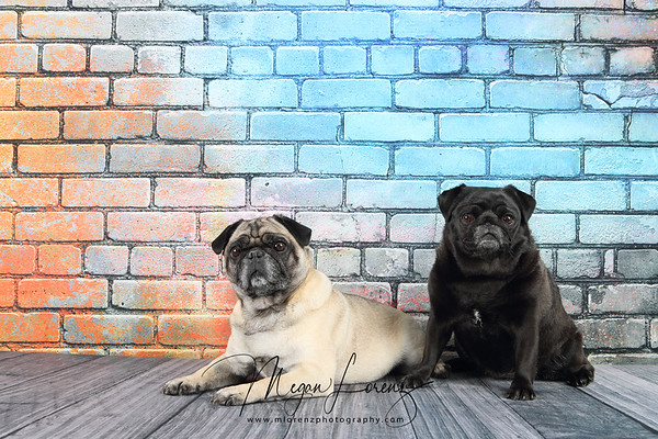 Two pugs in front of a colorful brick wall.