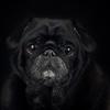 Black Pug on a black background.
