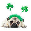 Piglet The Pug on St. Patrick's Day 2020