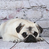 Tired Pug Puppy resting on a wood floor with a brick wall behind her.