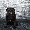 Black Pug in front of a weathered brick wall.