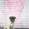 Fawn Pug sitting in front of a wall with a heart painted on it.