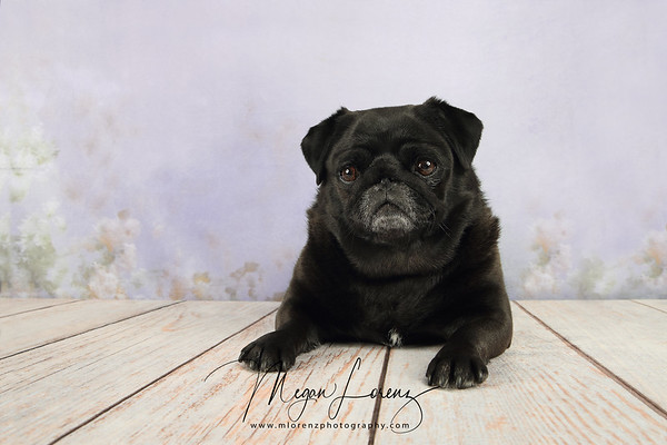 Cute Black Pug laying down on a wood floor.
