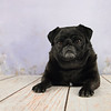 Cute Black Pug laying down on a wood floor.
