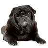 Black Pug isolated on a white background.