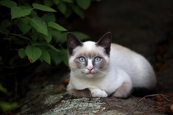Snowshoe Siamese Cat resting outdoors in Ontario, Canada.