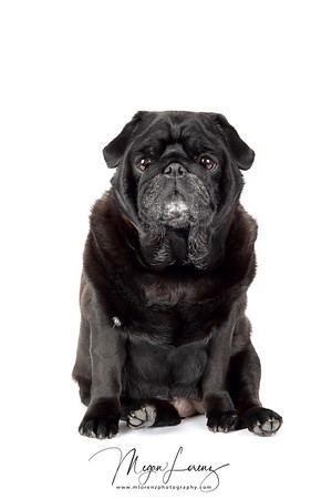 Black 8-year-old female pug isolated on a white background.