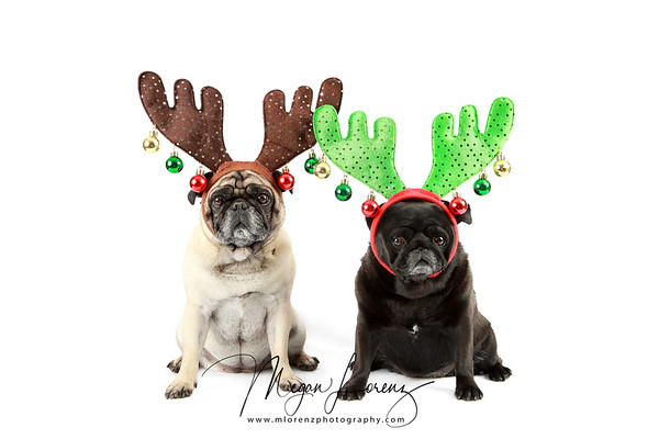 Pugs dressed in Reindeer Antlers for Christmas.