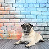 Fawn Pug laying against a colorful brick wall.